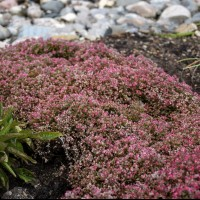 photo of Sedum 'Steel the Show' courtesy of Walters Gardens
