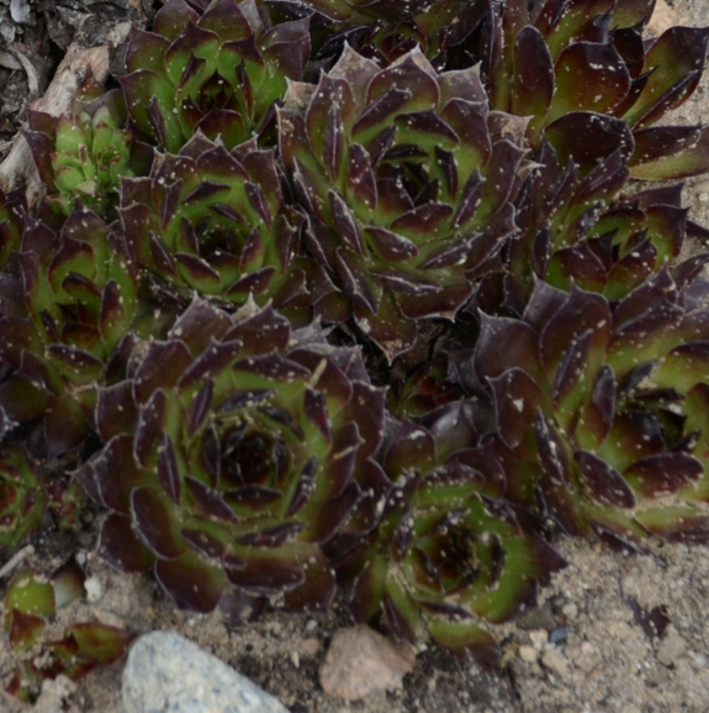 Sempervivum 'Black' courtesy of Walters Gardens