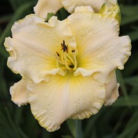 Daylily 'September Frost' photo Suzanne Patry