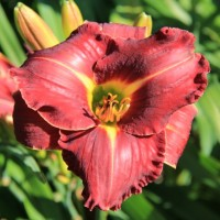 Daylily 'Shades of Darkness' photo Whitehouse Perennials Nursery and Display Gardens