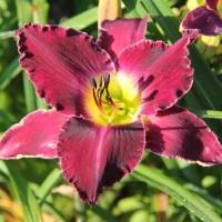 Daylily 'Shaka Zulu' Suzanne Patry, Whitehouse Perennials