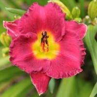 Daylily 'Shogun' photo Whitehouse Nursery and Display Gardens