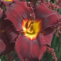 Daylily 'Sir Modred'  Photo courtesy of Walters Gardens