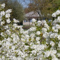 Exochorda 'Snow Day Surprise' photo courtesy of Proven Winners