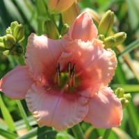 Daylily 'Soft Summer Night' photo Whitehouse Perennials Nursery and Display Gardens