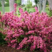 Weigela 'Sonic Bloom Pink' Photo courtesy of Proven Winners