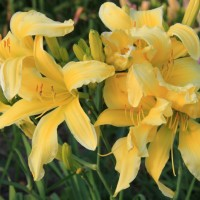 Daylily 'Spider Miracle'  photo courtesy of Walters Gardens