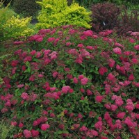 Spirea 'Double Play Doozie' photo courtesy of Proven Winners