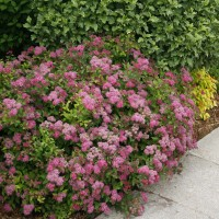 Spirea 'Double Play Pink' photo courtesy of Spring Meadow Nursery