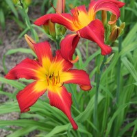 Daylily 'Springfield Clan' photo Suzanne Patry at Whitehouse Perennials