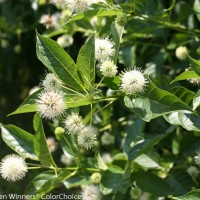 Cephalanthus 'Sugar Shack' photo courtesy of Proven Winners