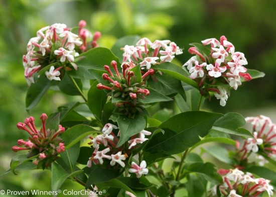 Abelia mosanensis Photo courtesy of Spring Meadow Nursery