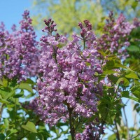 Syringa 'Scentera Double Blue' photo courtesy of Spring Meadow Nursery