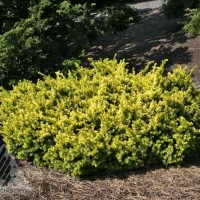 Taxus cuspidata 'Nana Aurescens' photo courtesy of Iseli Nursery
