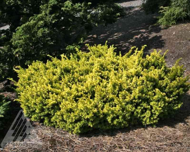 Taxus cuspidata 'Nana Aurescens' photo courtesy of Iseli Nursery