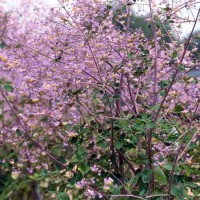 Thalictrum 'Lavender' Mist photo courtesy of Walters Gardens