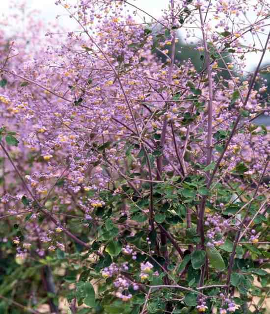 Thalictrum 'Lavender' Mist photo courtesy of Walters Gardens
