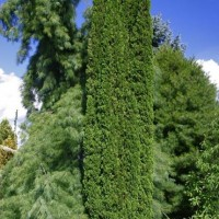 Thuja occidentalis 'De Groot's Spire' courtesy of Iseli Nursery