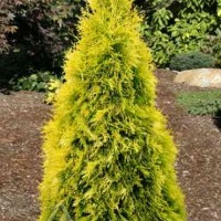 Thuja occidentalis 'Jantar' photo courtesy of Iseli Nursery