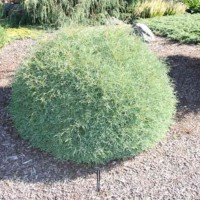 Thuja occidentalis 'Mr. Bowling Ball' ('Bobozam') photo Suzanne Patry at Iseli Nursery