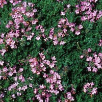 Thymus 'Pink Chintz' photo Missouri Botanical Garden