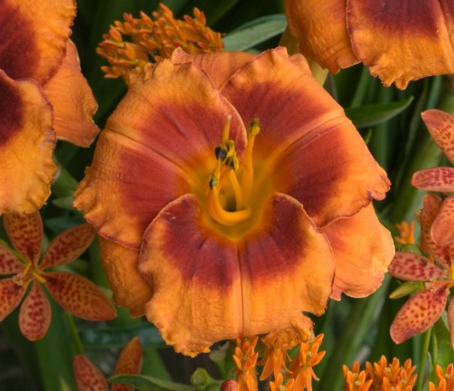Daylily 'Tigger Kitten' Photo courtesy of Walters Gardens