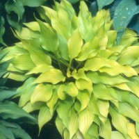 Hosta 'Tiny Bubbles' Photo courtesy of Green Hill Hostas