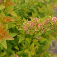 Physocarpus 'Tiny Wine Gold' photo courtesy of Proven Winners