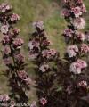 tiny_wine_physocarpus.jpg