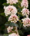 tiny_wine_physocarpus_closeup.jpg