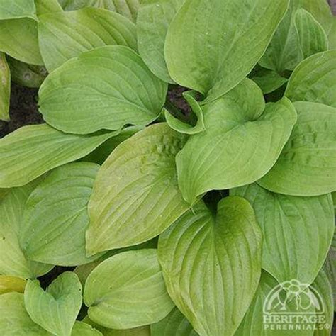 Hosta 'Tortilla Chip' photo courtesy of Valleybrook Gardens