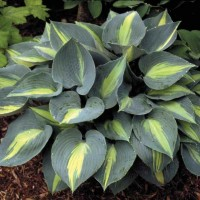 Hosta 'Touch of Class' photo courtesy of Walters Gardens