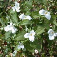 Trillium grandiflorum at Whitehouse Perennials