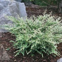 Tsuga canadensis 'Gentsch White' photo courtesy of Iseli Nursery