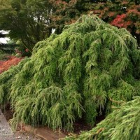 Tsuga canadensis 'Kelsey's Weeping' photo courtesy of Iseli Nursery