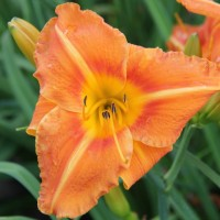 Daylily 'Tuscawilla Tigress' photo Suzanne Patry