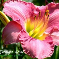 Daylily 'Twilight Rose' photo courtesy of Angela Snowdon