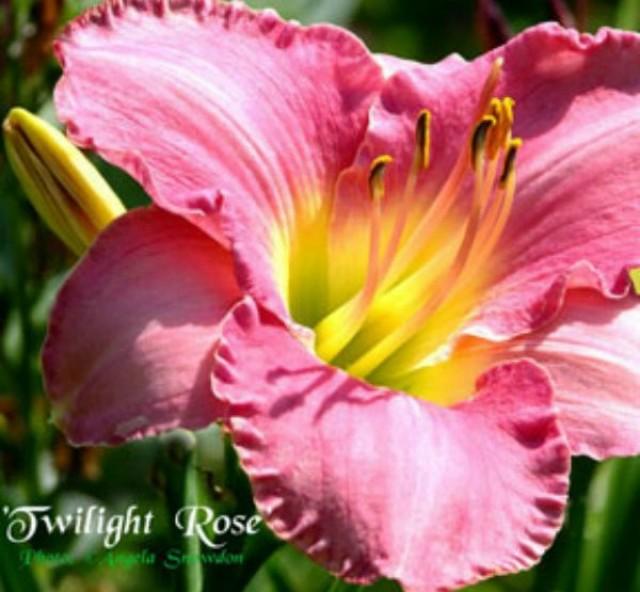 Daylily 'Twilight Rose' photo courtesy of Angela Snowdon