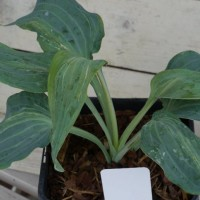 photo of Hosta 'Valley's Blue Curacao' courtesy of Naylor Creek Nursery