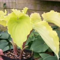 Hosta 'Valley's Lemon Squash' photo courtesy of  Naylor Creek Nursery