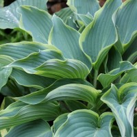 Hosta 'Valley's Paparazzi' Photo courtesy of Naylor Creek Nursery
