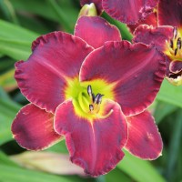 Daylily 'Velvet Thunder'  Photo courtesy of Walters Gardens