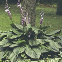 Hosta Ventricosa photo courtesy of Walters Gardens