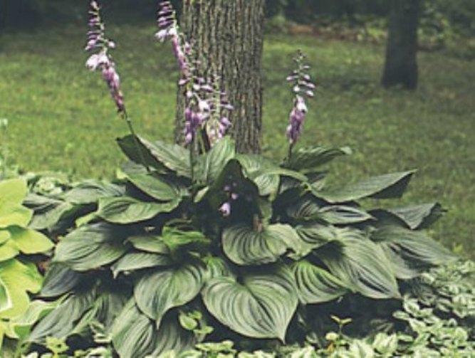 Hosta Ventricosa photo courtesy of Walters Gardens