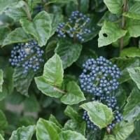 Viburnum 'Glitters and Glows' photo courtesy of Spring Meadow Nursery