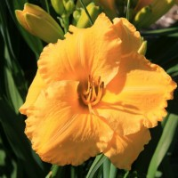 Daylily 'Victorian Collar' photo Suzanne Patry