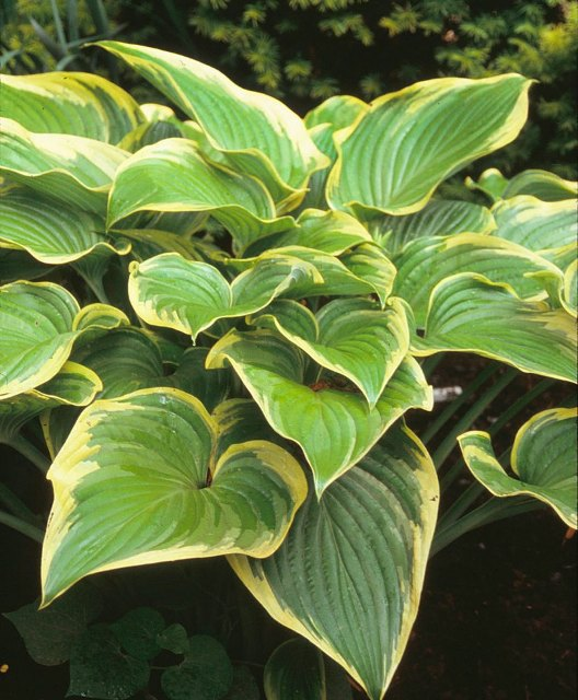 Hosta 'Victory' Photo courtesy of Walters Gardens