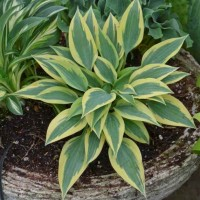 Hosta 'Virginia Reel' Photo courtesy of Walters Gardens