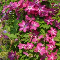Clematis 'Viva Polonia' photo courtesy of Proven Winners
