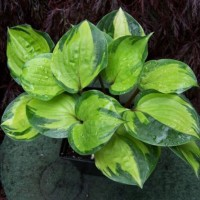 Hosta 'Volcano Island' Photo courtesy of Naylor Creek Nursery